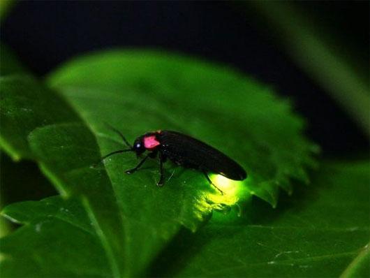 Đom đóm và ý tưởng giúp đèn LED tăng độ sáng