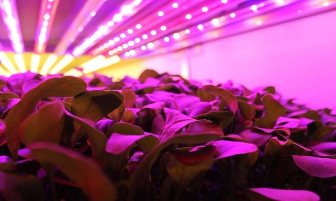 Trang trại hoàn toàn bằng đèn LED tại Mỹ