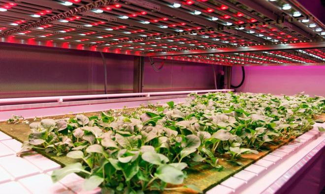 Trồng rau sạch bằng đèn LED theo cách người Hà Lan