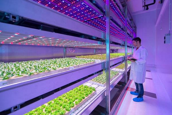 Công nghệ trồng rau bằng đèn LED chia tay với thuốc trừ sâu