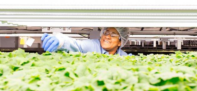 Công nghệ mới trồng rau bằng đèn LED