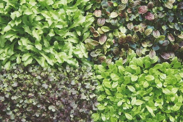Mô hình trồng rau bằng đèn LED trong nhà nhanh sấp 3 lần ngoài vườn.
